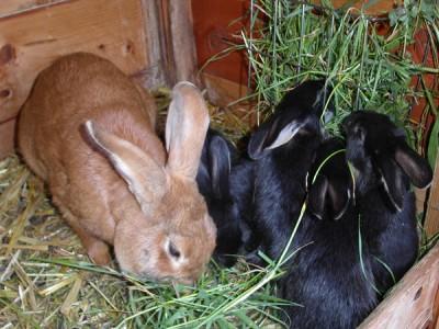 ein Highlight bei den Kleinsten: unsere Kaninchen